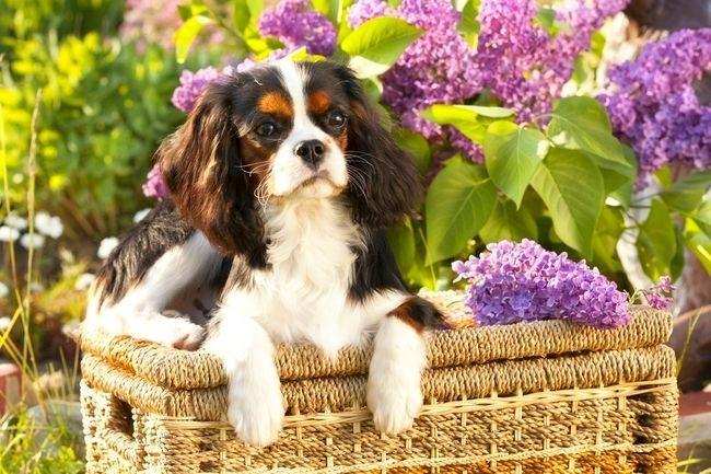 Кавалер кинг чарльз спаниель - пес-отличник. Он любит всегда и во всем быть первым, слушаться хозяина и нравиться окружающим