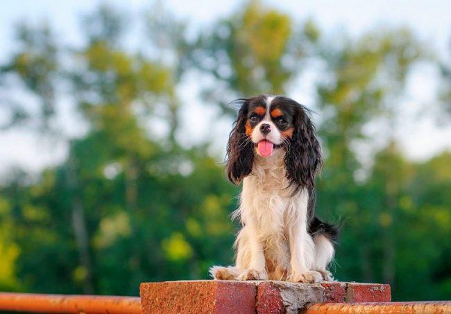 Кавалер кинг чарльз спаниель - собака не агрессивная. Это не значит, что с ней можно делать все что угодно. Защищая себя, собачка может и укусить. Однако песик, как настоящий кавалер, постарается всеми возможными методами избежать нежелательной ситуации
