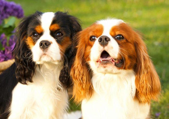 В пошлом той-спаниель задействовался для охоты, однако в современном мире он стал отличным компаньоном. Неприхотливый в уходе, имеющий мягкий и добрый нрав, игривый и порой такой смешной кавалер кинг чарльз спаниель подойдет для людей, у которых нет опыта в воспитании собак