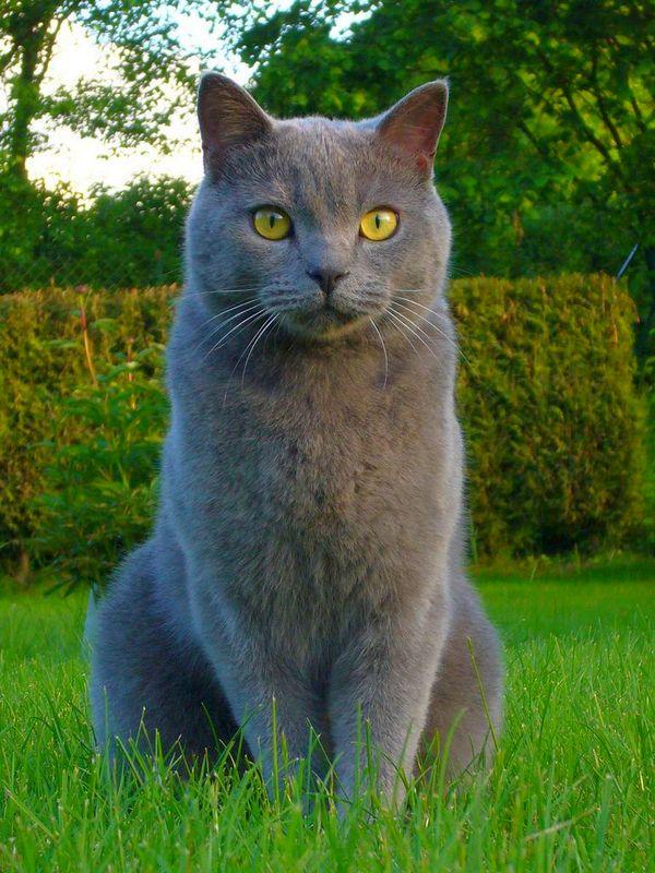 Порода большого пушистого кота