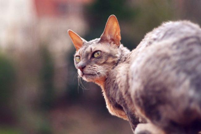 Кошки корниш-рекс легко поддаются дрессировке. Хозяин без особых усилий может приучить корниша, например, отыскивать и приносить заброшенный мячик
