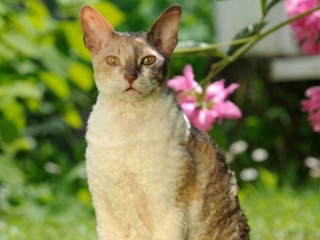 В теплое время года ваш питомец будет с удовольствием исследовать закоулки двора, хотя в регулярном выгуле, в принципе, эти кошки не нуждаются