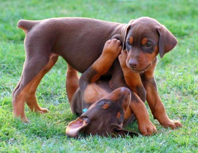 Игривые щенки добермана-пинчера