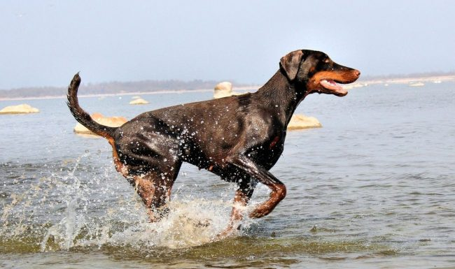 Тело добермана практически лишено жировой прослойки и подшерстка. Это выглядит эффектно: собака играет своими мускулами. Но эта особенность сделала доберманов восприимчивыми к холоду: хозяевам нужно позаботиться о попонке для холодной погоды. По этой же причине собака не может быть сторожем во дворе в зимнее время