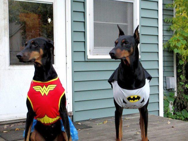 Доберманы-пинчеры - настоящие супергерои, готовые в любой момент прийти на помощь