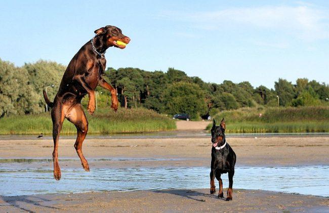 Доберман-пинчер хорошо подходит для занятий спортом, путешествий, игр с детьми. Но если взрослые не планируют заниматься воспитанием собаки, то доберман-пинчер – не самый лучший выбор домашнего питомца для ребёнка