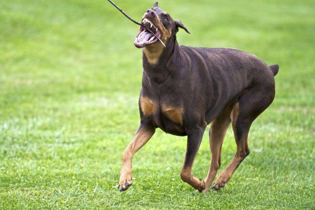 Доберман-пинчер любит продолжительные прогулки. Он с удовольствием сопровождает хозяев во время пробежек и катания на велосипеде. С минимальными усилиями выгулять собаку можно, бросая ей теннисный мяч или палочку