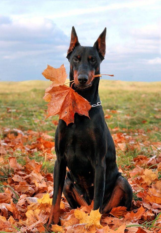 Собак отличает: смелость, верность, внимательность и бесстрашие. Они сильно привязываются к хозяевам, защищают их в любых условиях