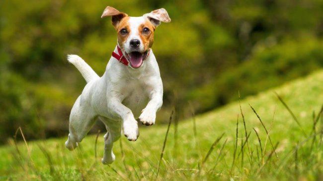 Опасность заразиться каким-либо заболеванием возникает не только при укусе клеща, но и тогда, когда собака случайно его проглотила