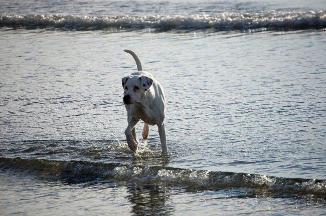Собаку достаточно выгуливать дважды в день, уделяя каждой прогулке полтора часа. За это время дог выплеснет заряд своей энергии и направит ее в правильное русло