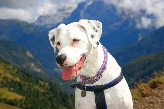 Атлетического телосложения аргентинский дог - красивая и умная собака