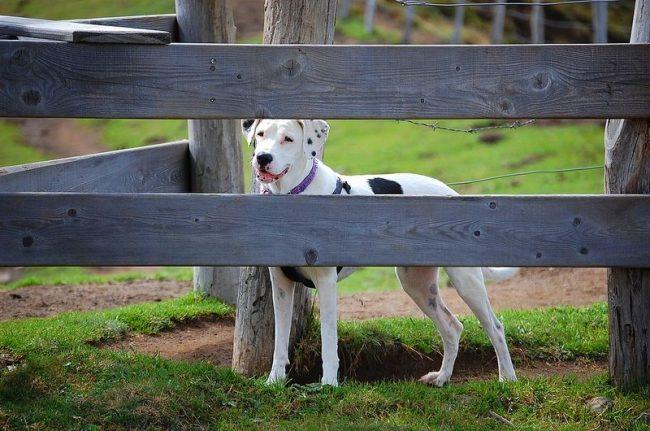 Используют аргентинцев для охоты, охраны имущества, защиты человека, а также в качестве собаки-компаньона