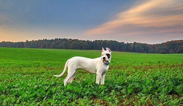 Аргентинцы - необычайно умные псы, для того чтобы сделать что-то, им нужна серьезная мотивация, поэтому дрессируя собаку, хозяин должен предоставить ей хороший стимул