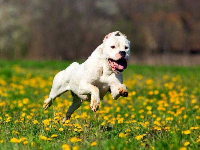 Аргентинский дог - смелый и храбрый пес, с готовностью всегда встает на сторону хозяина и его семьи, не задумываясь ринется в атаку на зверя или человека, если кому-либо из членов семьи угрожает опасность