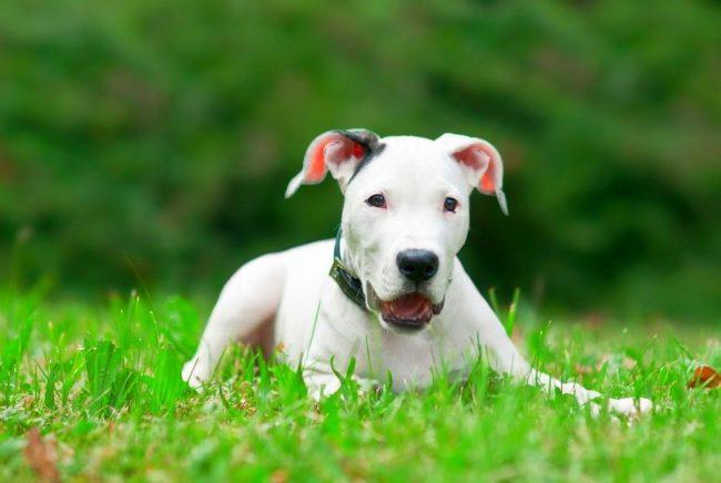 Аргентинский дог обладает отменным здоровьем и является собакой - долгожителем