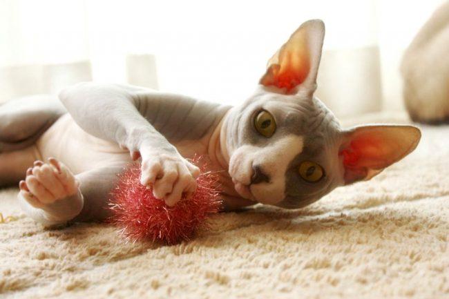 Для детей котик станет источником радости и нескончаемого веселья. Ведь, чувствуя их настроение, сфинкс будет отвечать взаимностью, участвуя с ними во всех забавах