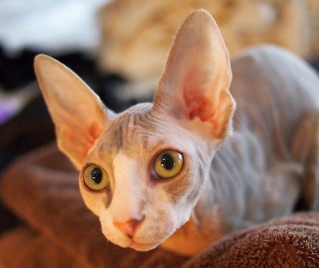 Кот донской сфинкс спокойно относится к гостям, через некоторое время он может устроиться поудобнее у них на коленях. Для других животных он очень быстро становится хорошим товарищем по играм