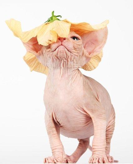 Донской сфинкс любит необычные шляпки
