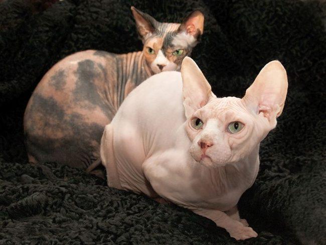 Донской сфинкс, практически лишенный шерсти, может подойти людям, имеющим на нее аллергию. В целом, это идеальный домашний любимец с минимальным набором требований