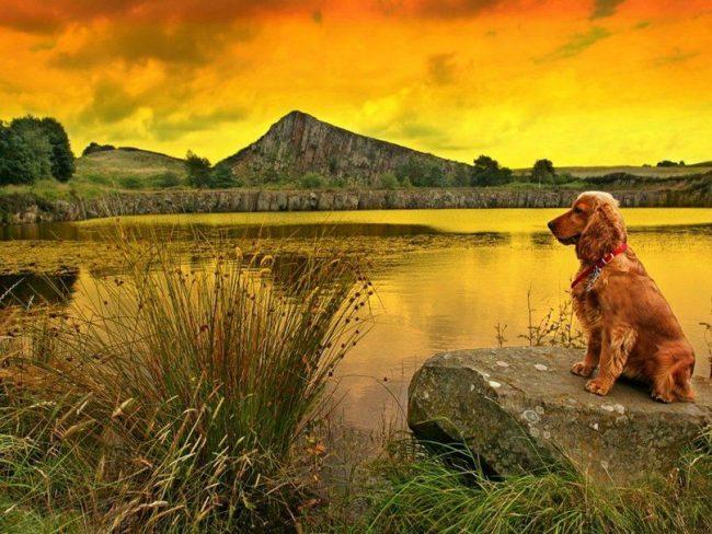 Эти охотничьи собаки крайне выносливы, любят нагрузки и долгие прогулки, быстро обучаются, всегда бросаются на защиту хозяев, ладят с детьми