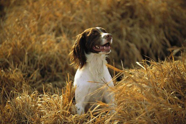 Собака отличается живым темпераментом, веселым нравом и умом. Подходит для содержания в квартире