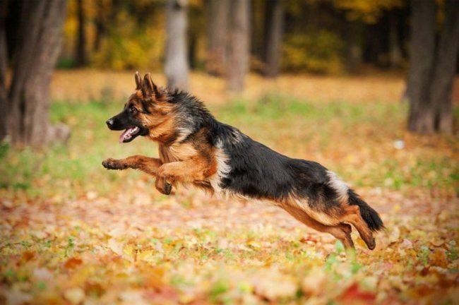Такую собаку хочется все время рассматривать из-за ее изумительного окраса. Ее подтянутое тело при росте в холке до 65 см и весе до 60 кг нуждается в постоянной интенсивной физической нагрузке