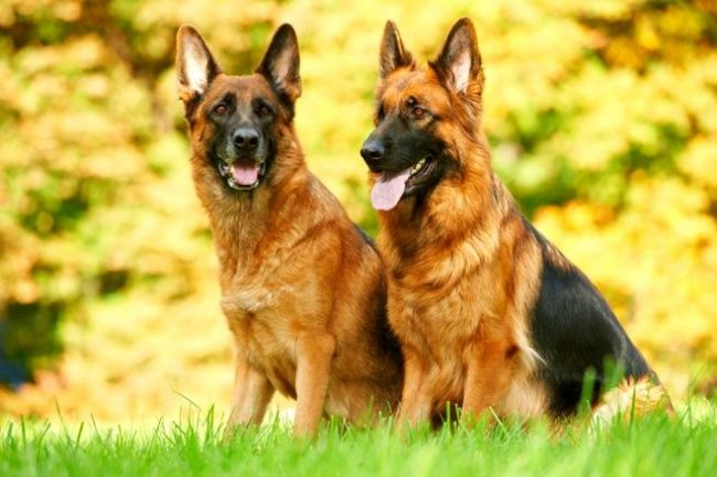 Немецкая овчарка - преданный друг и хороший сторожевой пес