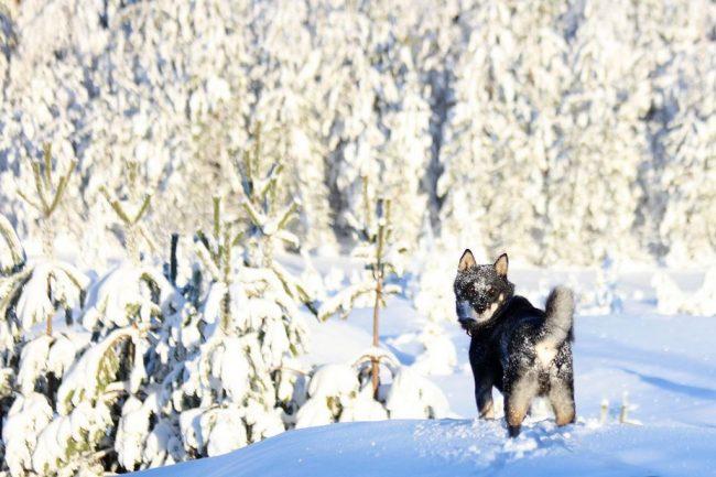 Порода хоккайдо выводилась для охоты. Это смелая, верная, свирепая и чуткая собака