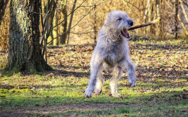 Ирландских волкодавов рекомендуется содержать в большом загородном доме, где собака будет чувствовать себя просторно и сможет в любой момент устроить себе прогулку