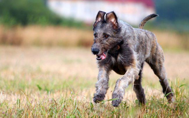 Здоровый и активный щенок ирландского волкодава