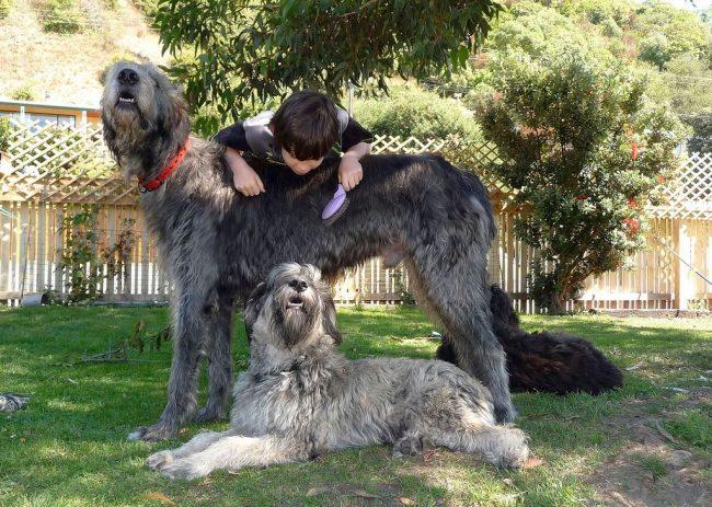 Расчесывание ирландского волкодава может стать отличным развлечением для все вашей семьи