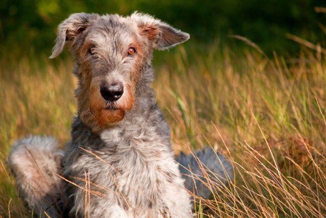 Ирландский волкодав - это очень умный пес, способный и готовый обучаться. Эти собаки хорошо поддаются воспитанию, дрессировке, включающей стандартные команды