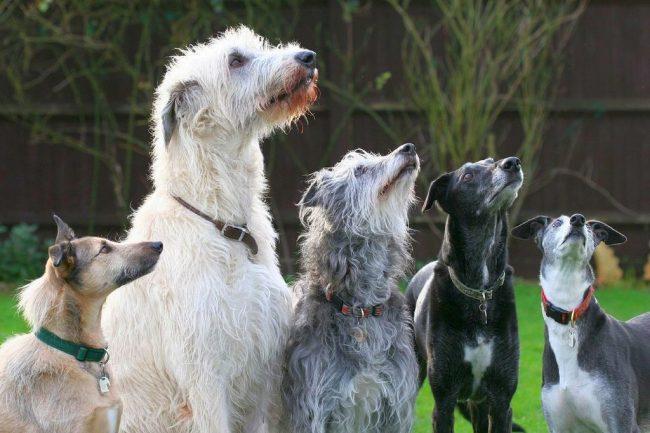 Несмотря на размеры и мощь, а также развитый охотничий инстинкт, который может вызывать приступы агрессии по отношению к жертве, собаки этой породы добродушны и дружелюбны