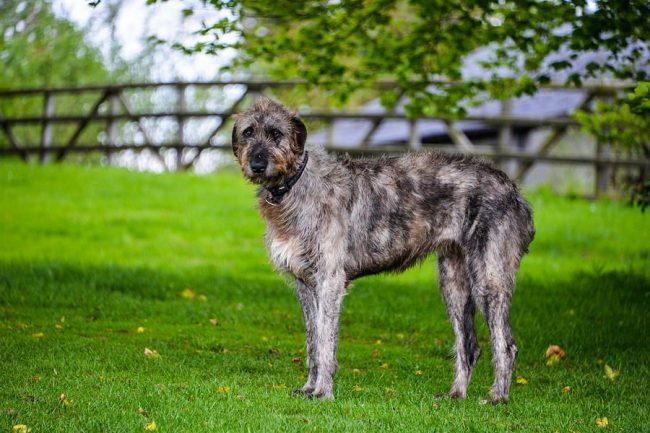 На Британские острова ирландский волкодав был завезен кельтами еще в 300-х годах до нашей эры, племена отчаянно нуждались в борзых для охоты на волков и других крупных зверей