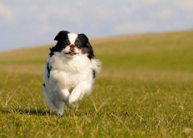 Порода собак японский хин – тихая, дружелюбная и миниатюрная. Ей не нужно много места, она не будет лаять понапрасну и никогда не укусит, но готова встать на защиту своего хозяина