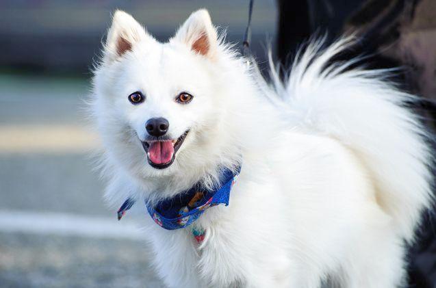 Маленькие собачки часто становятся домашними любимцами, радуют хозяев своим присутствием. Например, японский шпиц - имеет прекрасный характер и очень привязывается к людям