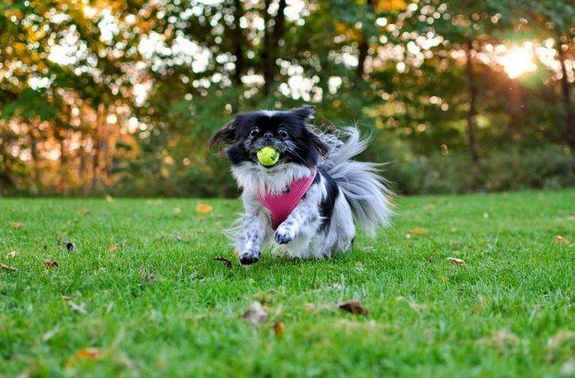 На родине – в Японии, к этим маленьким грациозным собачкам относятся трепетно. «Хин» в переводе с японского - драгоценность. Японцы никогда не используют слово «собака» («ину») по отношению к хинам