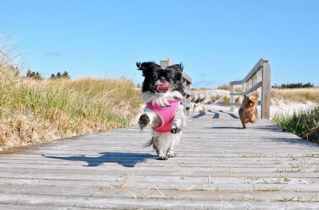 Японский хин - идеальный пес для общительных людей, готовых уделять питомцу много внимания и дарить свою любовь