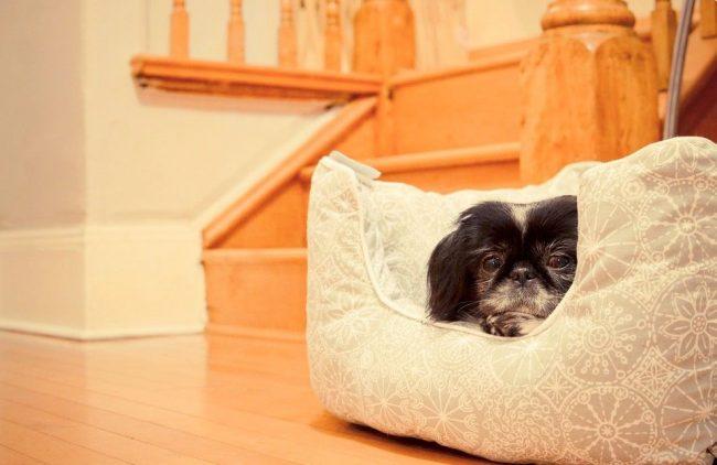 Японский хин – идеальный домашний питомец для проживания в квартире. Многие владельцы не устают хвалить тихий, спокойный темперамент и хорошие манеры собаки