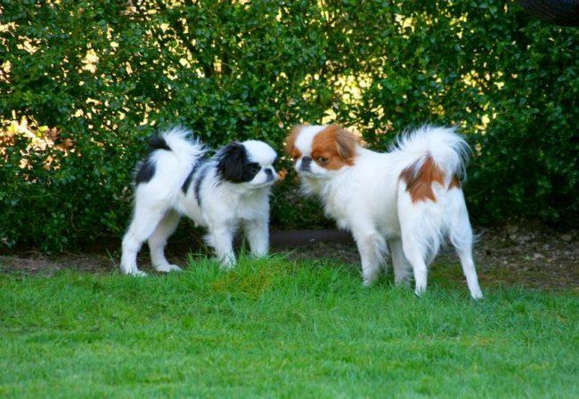 Собачки любят прогулки, но слишком активными их назвать нельзя. Излюбленные места – спинка дивана и неожиданные уголки, которые обычно выбирают кошки