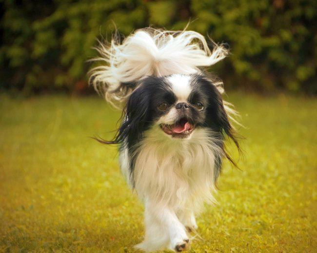 Не выводите собачку на улицу в жару, и вы избежите болезней органов дыхания