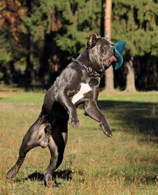 Собака кане корсо очень любит активное времяпровождение. Длительные прогулки, бег и игры во фрисби - для кане корсо лучше и не придумать