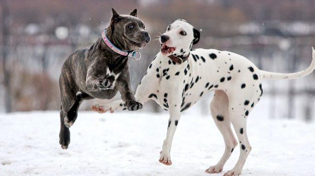 Несмотря на свой грозный вид и массивность, собака кане корсо очень резвая и игривая. Пес любит играть с другими собаками и людьми