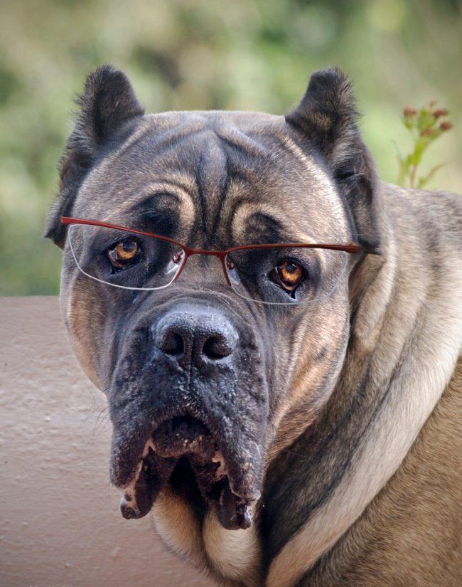 Умная собака кане корсо с грустным взглядом
