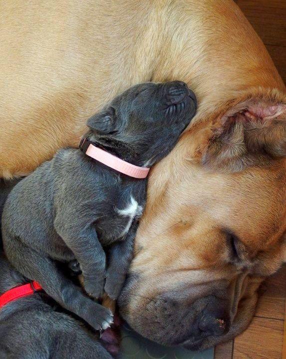Идилия: мама кане корсо и ее малыш