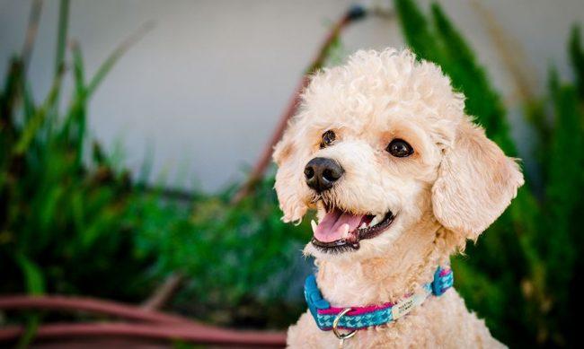 Карликовый пудель - это игривая, умная и послушная собачка с покладистым характером и добродушным нравом