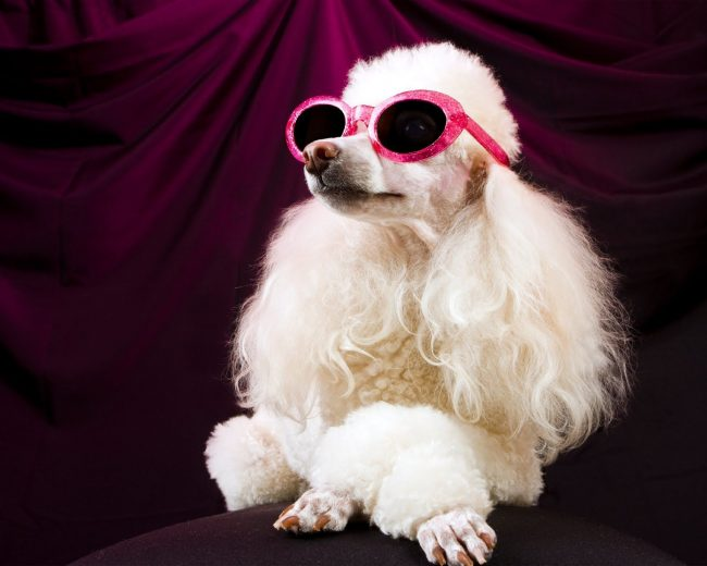 Собака с удовольствием будет примерять разные образы, она маленькая модница
