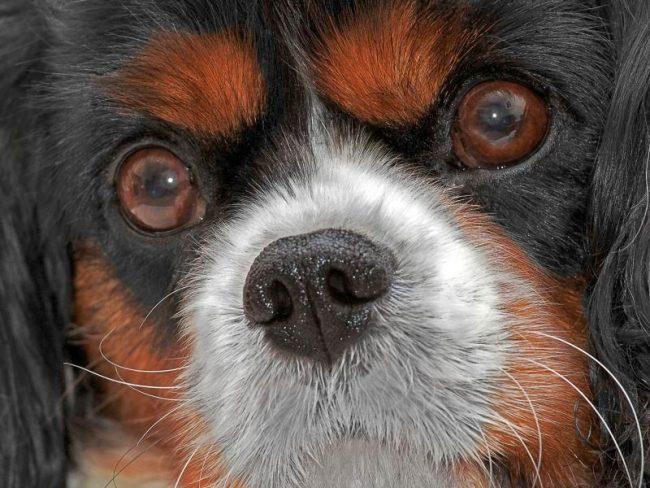 Катаракта у собак может развиться независимо от породы, с годами прогрессируя. Но все же более всего ей подвержены ретриверы, пудели, йоркширские и бостон терьеры, кокер и вельш спрингер спаниели
