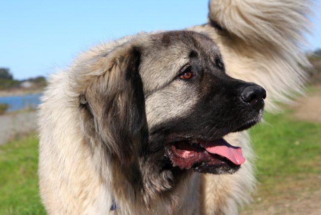 Собака кавказская овчарка умна и покладиста, она еще с малого возраста понимает, что нужно защищать дом, нельзя устраивать в нем разгром. Она никогда не будет проявлять так называемой беспричинной агрессии, если выросла в среде уважения