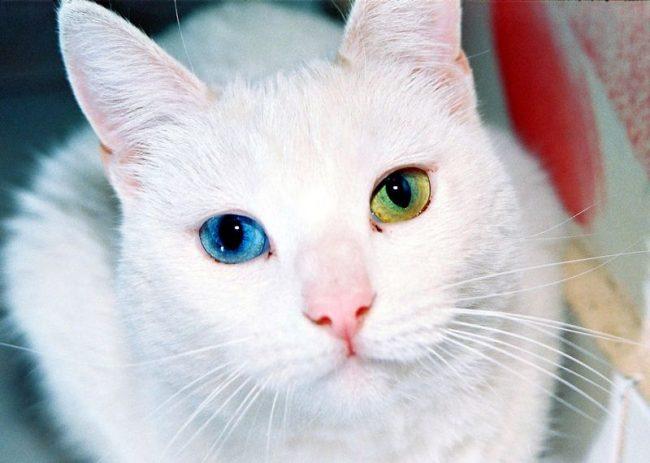 Као-мани – одна из самых дорогих пород кошек. Она отлично уживается в доме, легко идет на контакт. Она общительна, игрива и умна, проблем с ее обучением не возникнет